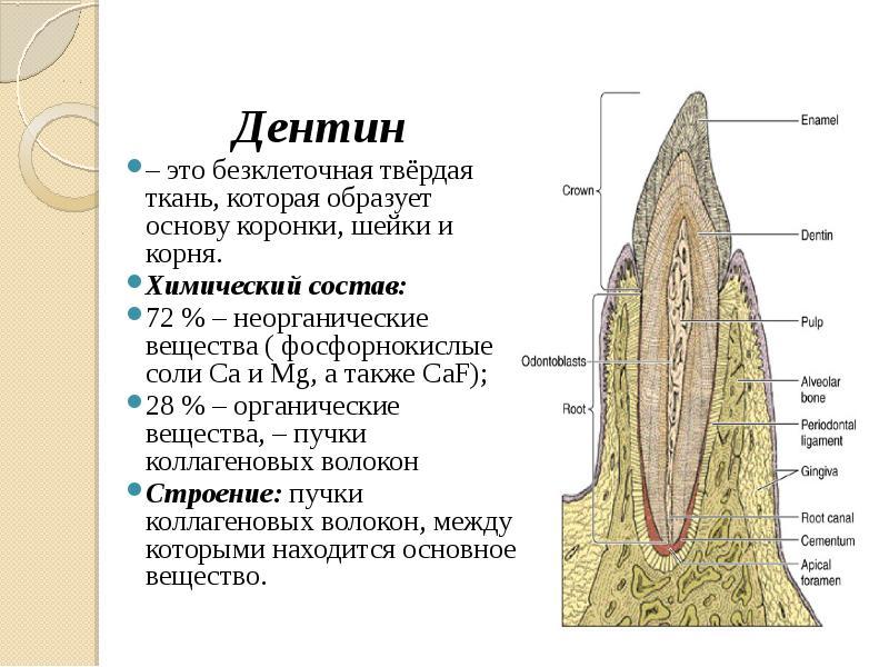 нас строение тканей зуба гистология стоимость