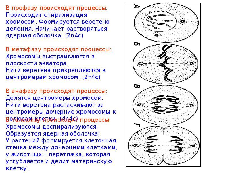 деспирализация хромосом при делении клетки происходит в действие Нурофена