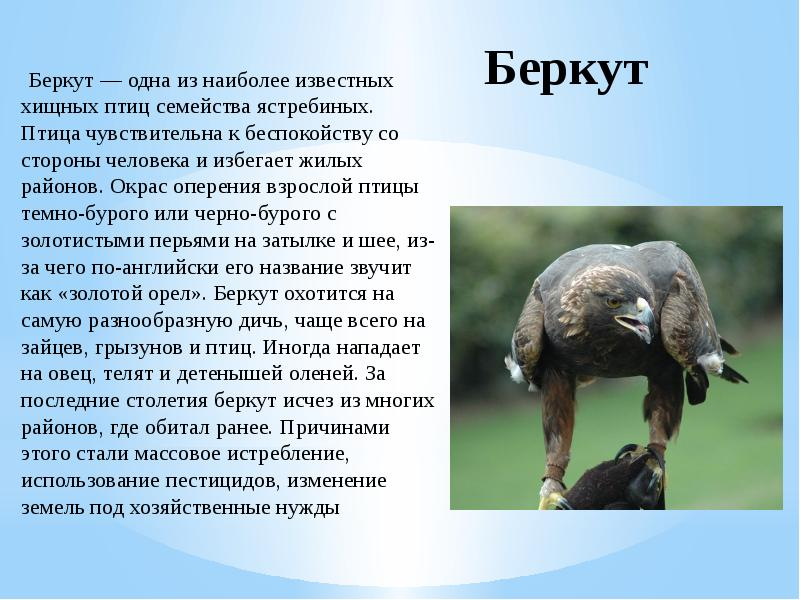 нее птица беркут фото и описание нашей