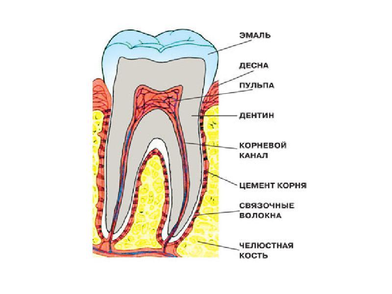 Зубы строение в картинках
