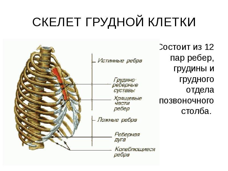них отсутствует ребра человека фото с описанием костей сослались