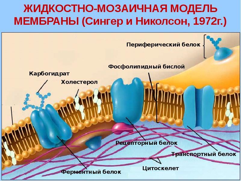 Строение и свойства мембран