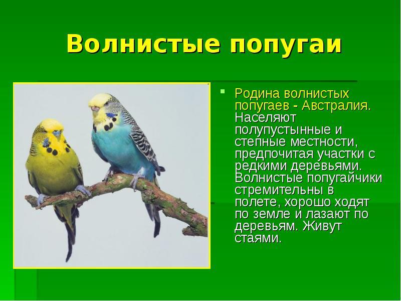 Проект про волнистых попугаев