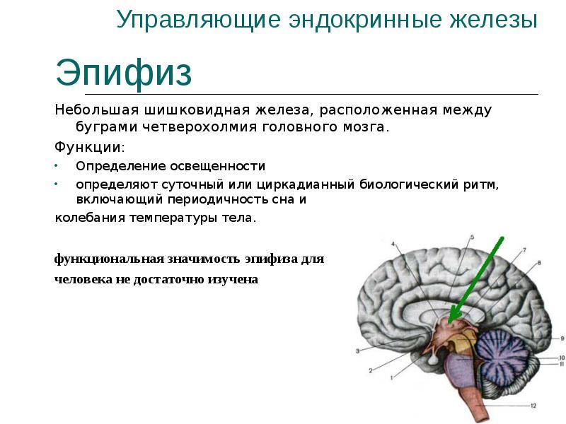 Красноярске какие гормоны вырабатывает головной мозг домашних