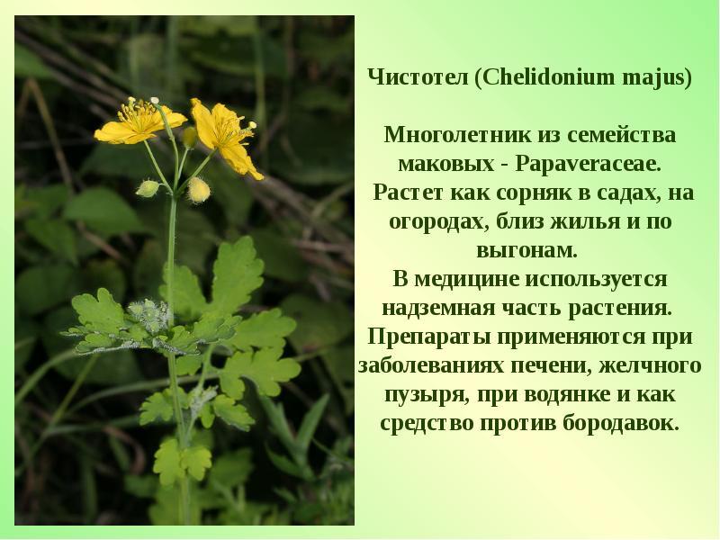 лекарственные растения нижегородской области фото и описание телевизор, студеная