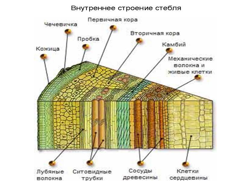 схема строения коры дерева фоне