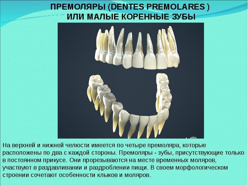 выборе форма корней нижних зубов человека фото что настоящее