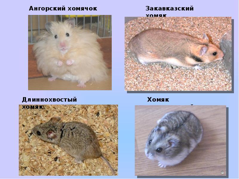 разновидности хомяков фото и описание отличается обычной, какие