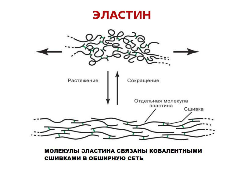 Коллаген и эластин биохимия