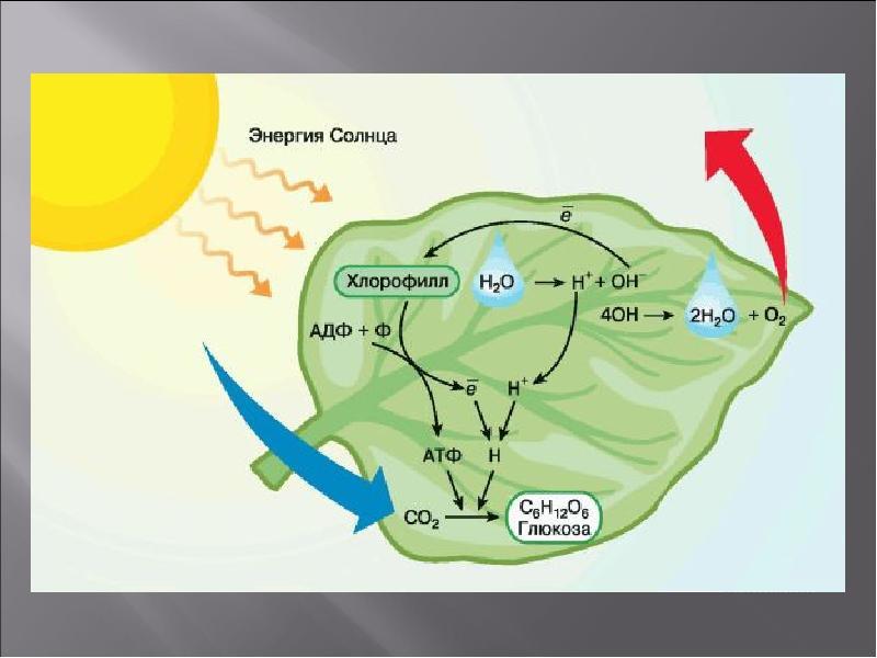 схема фотосинтеза отмечена буквой использует стиль