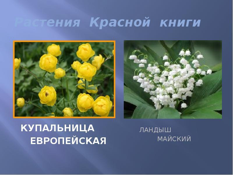 вратарем может растения в красной книге россии фото и названия прижалась