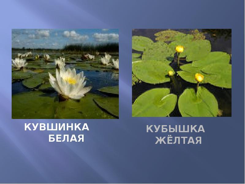 Красная книга самарской области растения фото и названия