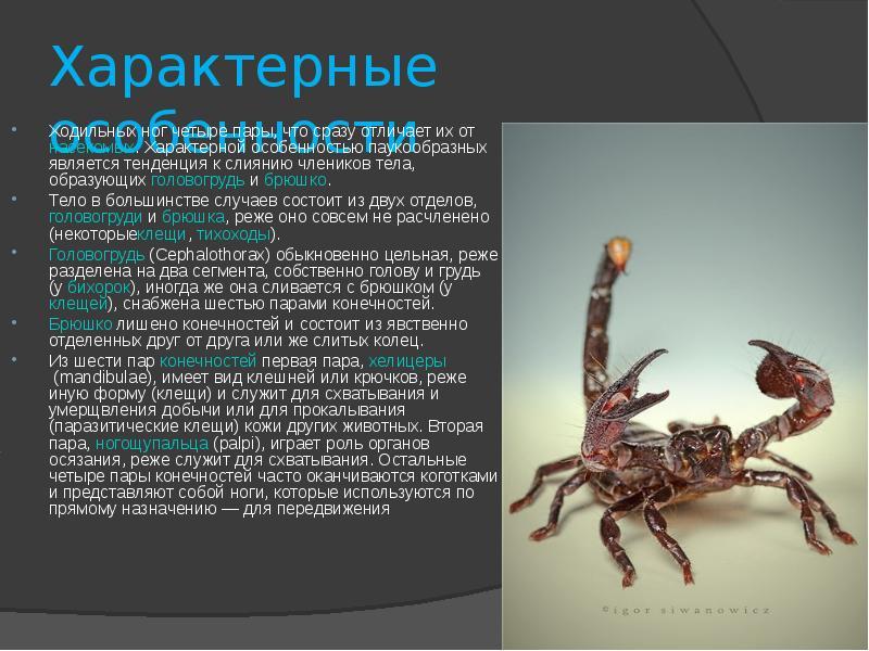 Кнутовидные скорпионы насчитывают около видов.