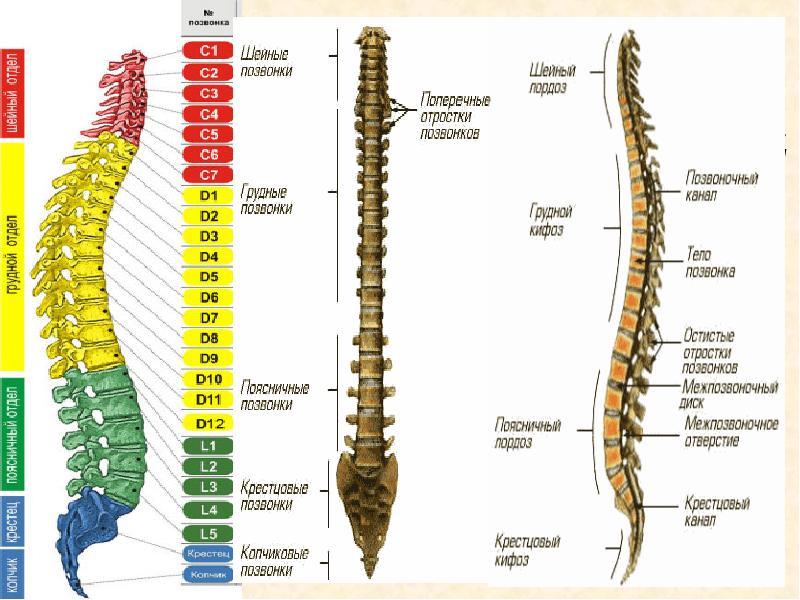 скелет позвоночного столба человека фото