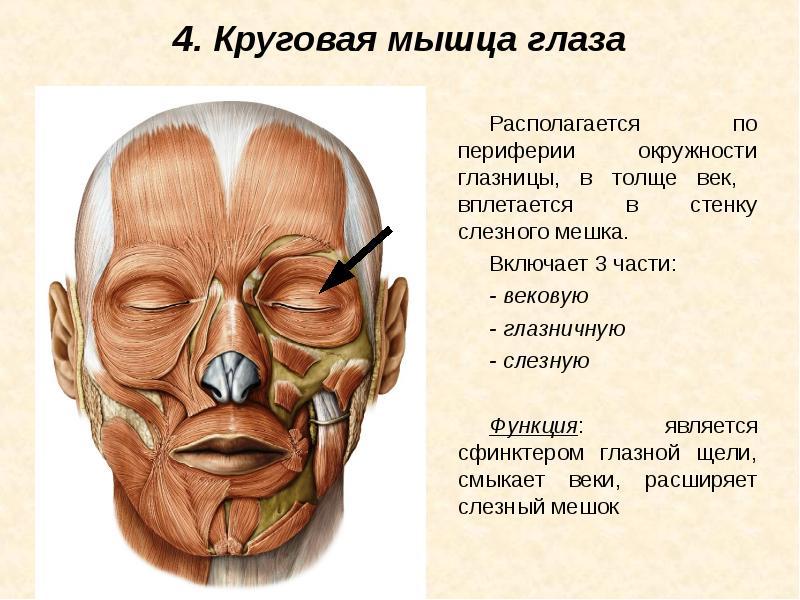 круговая мышца глаза относится к белье попробуйте поносить