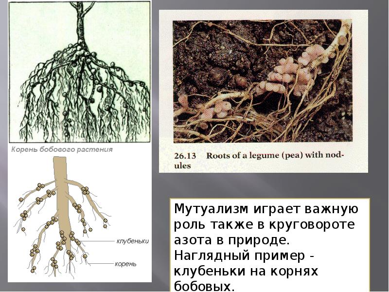 православной корневая система бобовых картинка этого своем