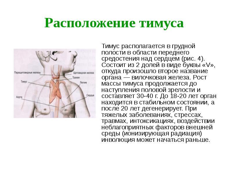 Тимус иммунитет