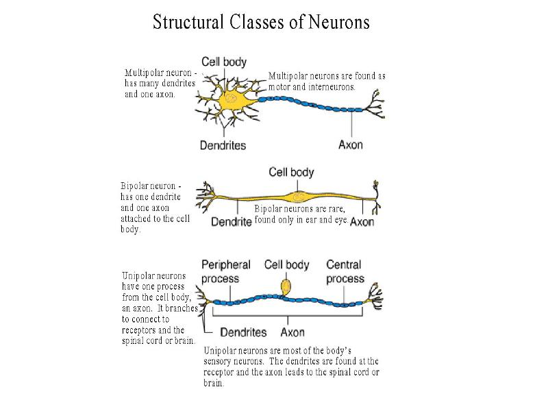 contrast unipolar bipolar and multipolar neurons structually Nerve tissue and nerves exercise 25 (p 193) unipolar, (2) bipolar, and (3) multipolar multipolar neurons are found in the.