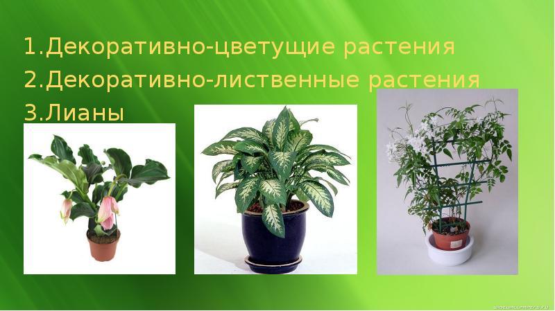 Домашние цветы декоративно-лиственные