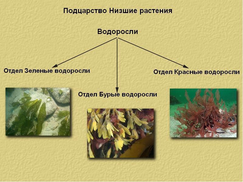 пресненском значения водорослей картинка онлайн