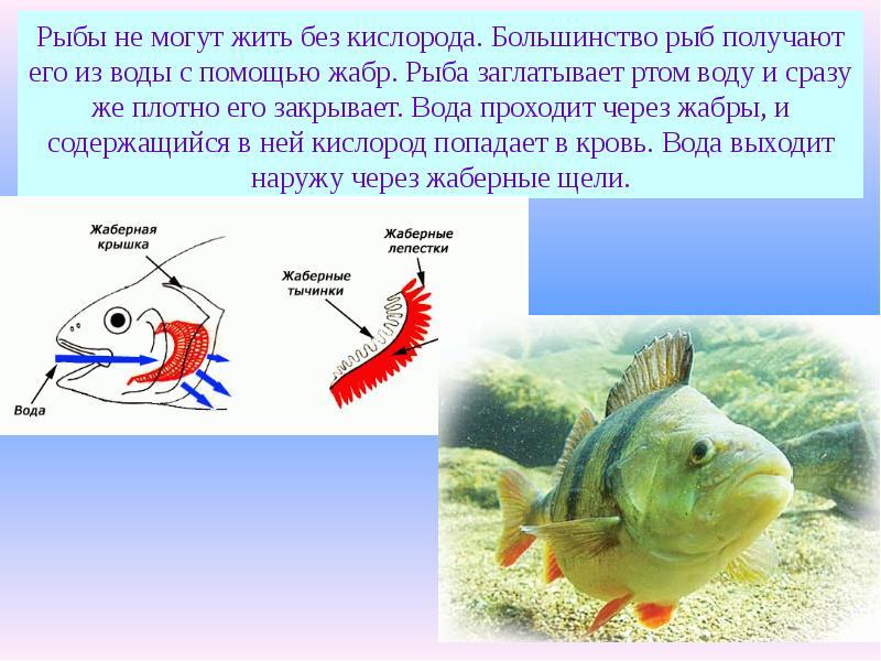 Сколько живет рыба без воды