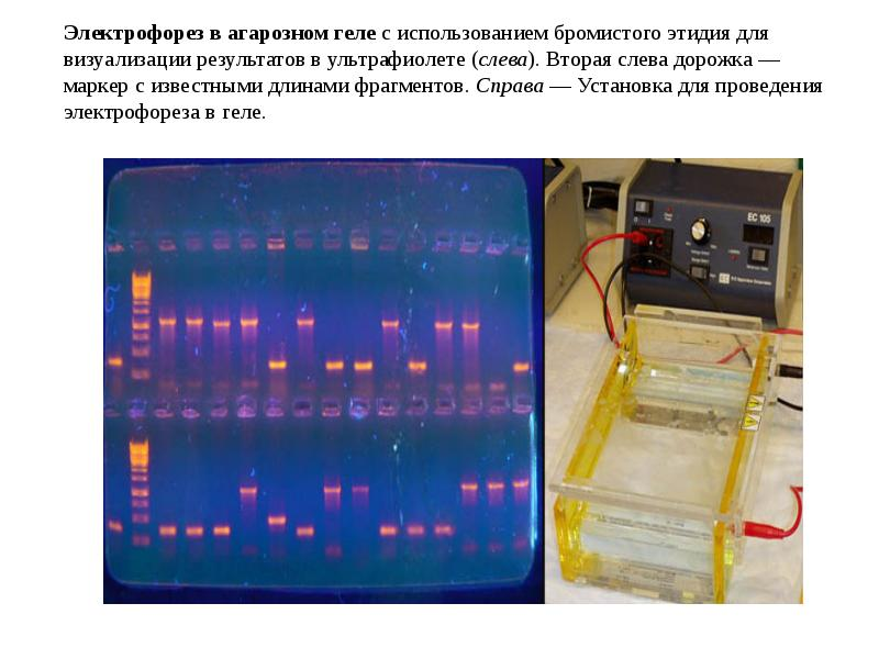 pcr and gel electrophoresis This module introduces gel electrophoresis principles and applications for genetics and plant breeding in text, animation, and video formats.