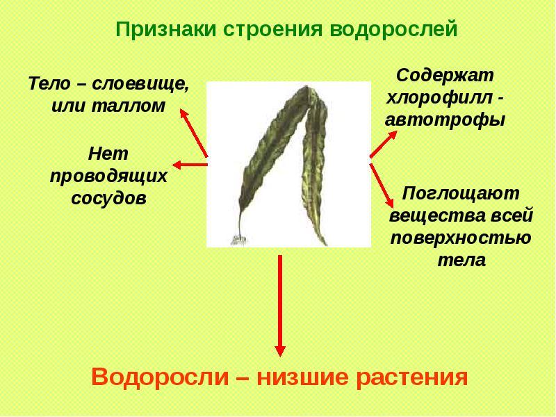 Многоклеточные ризоиды являются характерным признаком