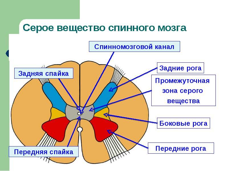 Воспаление серого вещества спинного мозга латынь