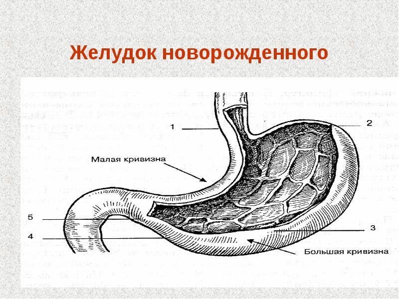 Желудок новорожденного фото