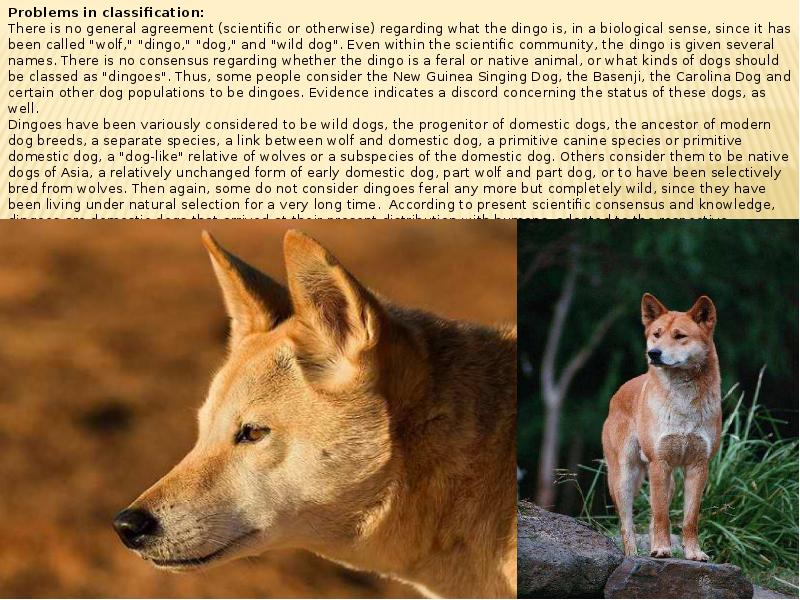 origin behavior and physical characteristics of the dingo Here are some pictorial records showing the unique physical capabilities of the dingo, which are generally impossible for dogs pictures.
