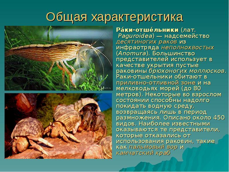 Описано около  описание обитателя морских аквариумов – рака-отшельника.