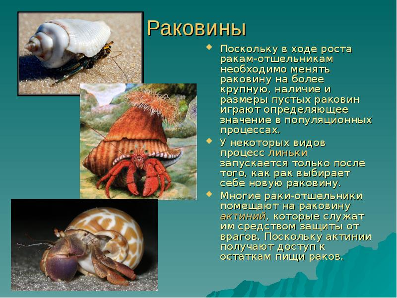 Есть и отшельники, которые даже считают раковину ненужной, сажают актинию прямо на спину и смело, разгуливают по морскому дну.