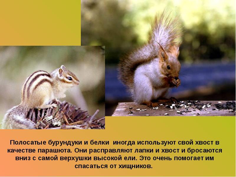 Сообщение про животного бурундук