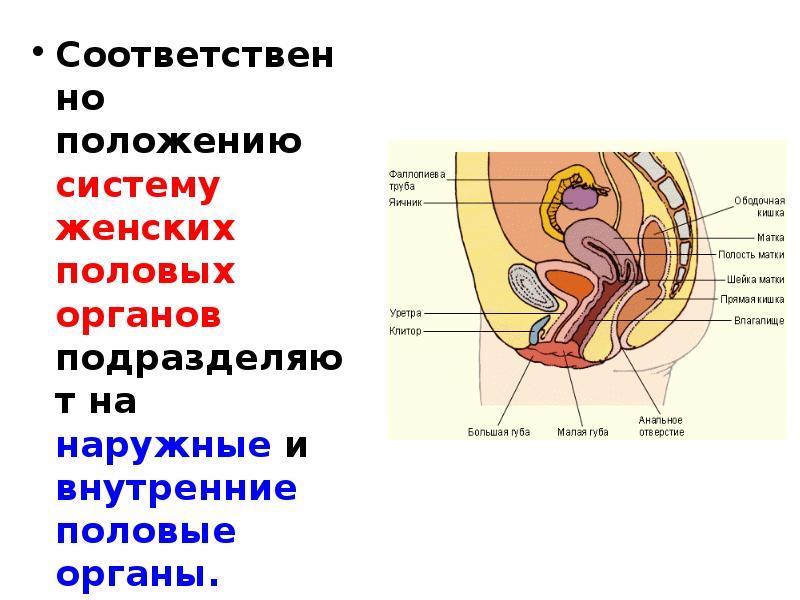 Женский половой орган наружный