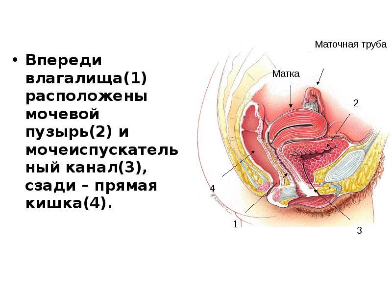 Видео о строении вагины разделяю