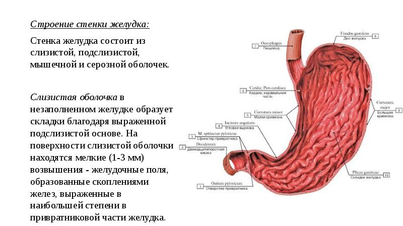 строение желудка картинки