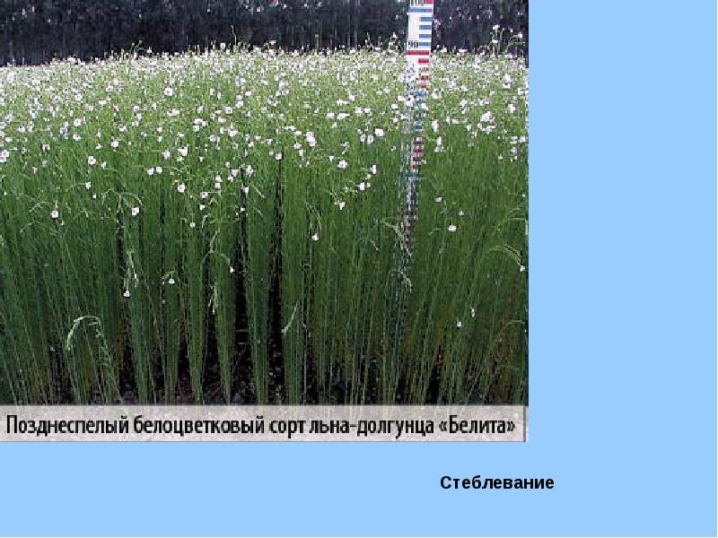 Лен технология выращивания 81