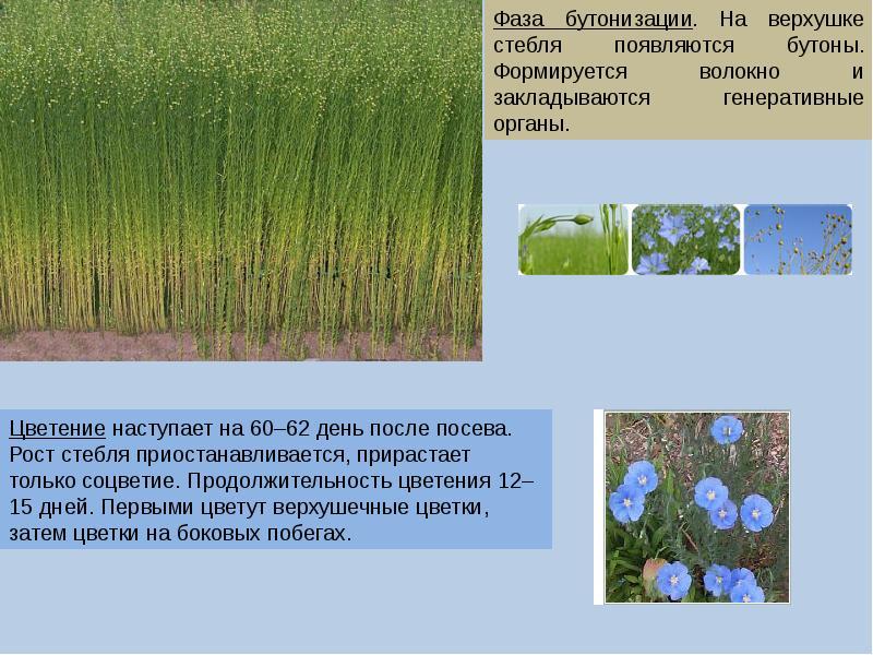 Лен технология выращивания 59