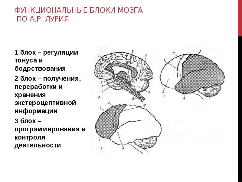 три блока мозга картинка сожалению