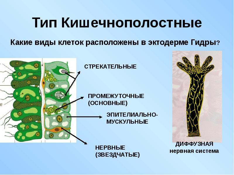 Какое значение имеет способность личинок губок передвигаться самостоятельно