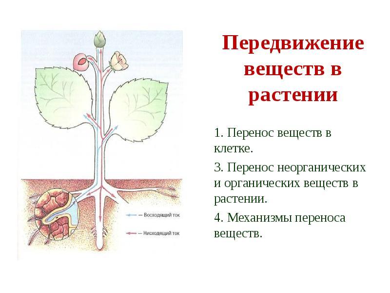 презентация передвижение веществ в растении 6 класс биология фасолью