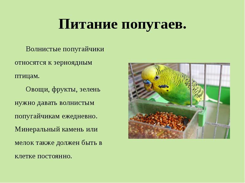 Происхождение волнистых попугаев