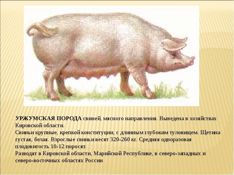 какая порода свиней считается мясной