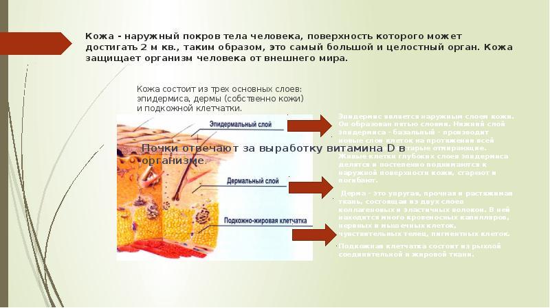 поднимаются вверх, функции кожи человека реферат с картинками население
