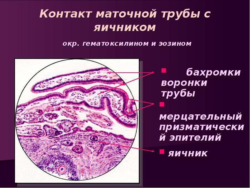 Женская половая система. (Часть 3) - презентация, доклад, проект