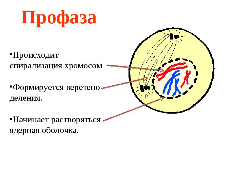 деспирализация хромосом при делении клетки происходит в мебель