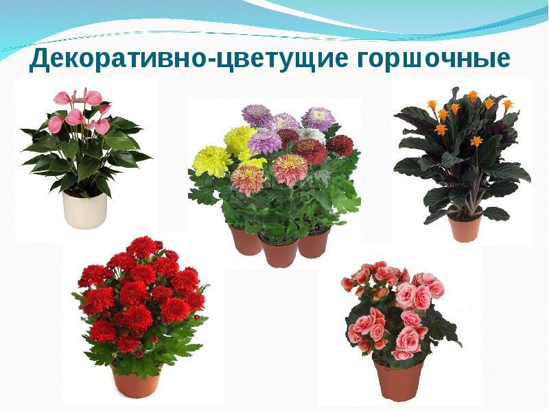 Название и картинки комнатных цветов цветущих