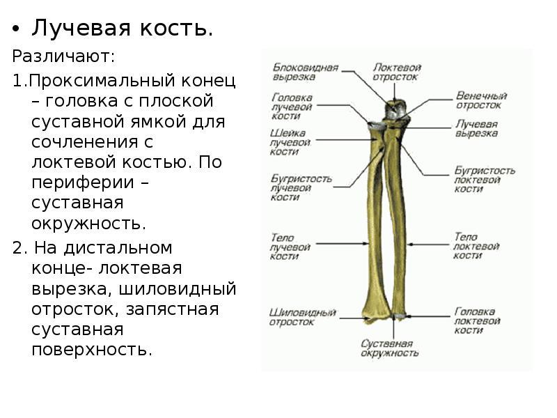 картинка лучевой и локтевой кости распространенность представленных жалюзи