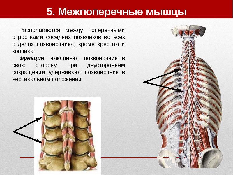Растяжение мышцы позвоночника 57