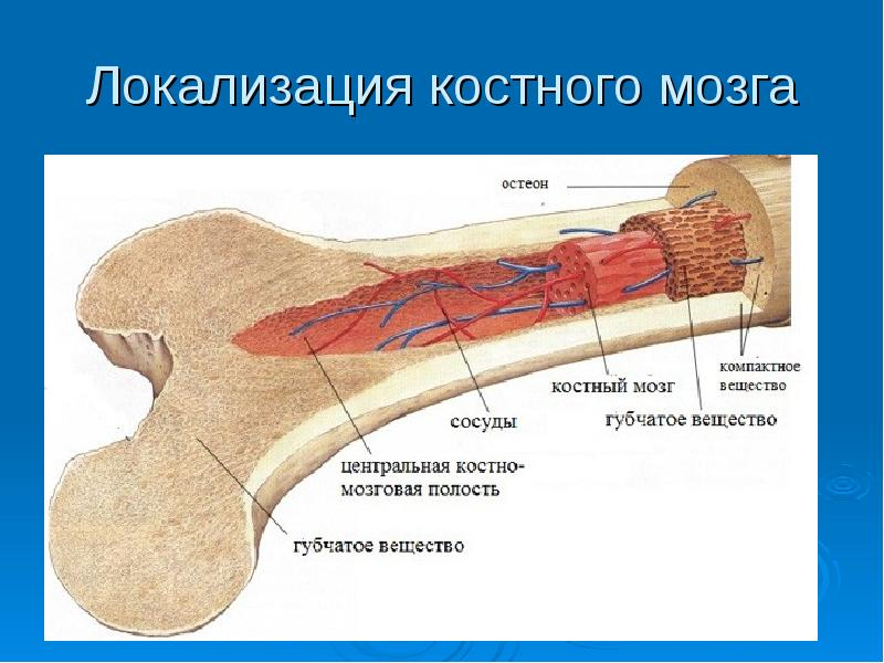 костный мозг где расположен фото можете предложить